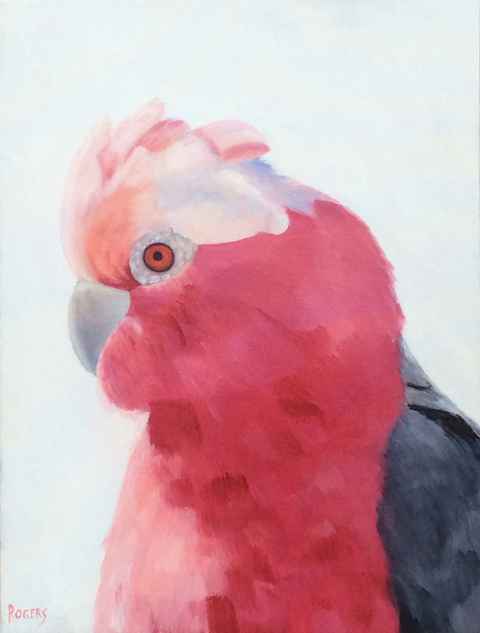 Galah - Backyard Friend